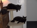 Ichi and Yumi - Exclusively Cats Veterinary Hospital - Waterford, MI